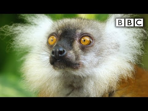 Lemurs get high - Spy in the Wild: Episode 4 Preview - BBC One