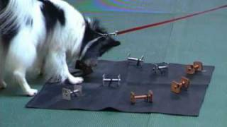 Small Dog Fun Competing With A Small Dog- Utility Obedience
