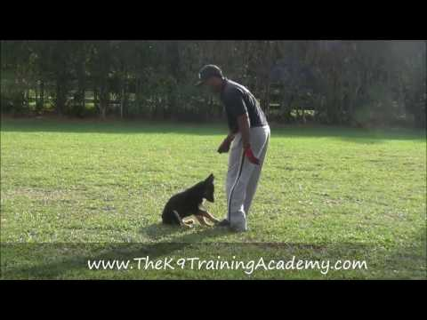 German Shepherd with Basic Obedience - The K9 Training Academy - ghost
