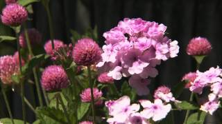 Late Summer Annuals