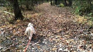 Shih Tzu Dog Lacey's Time-lapse Walk