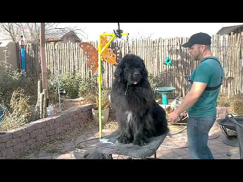 Grooming a Newfoundland: Line Combing