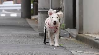 今日の散歩も走ってます ダイエット中のレイクランドテリアさんです、ま...