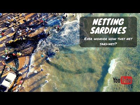 NETTING SARDINES 2020 | How to net Sardines |
