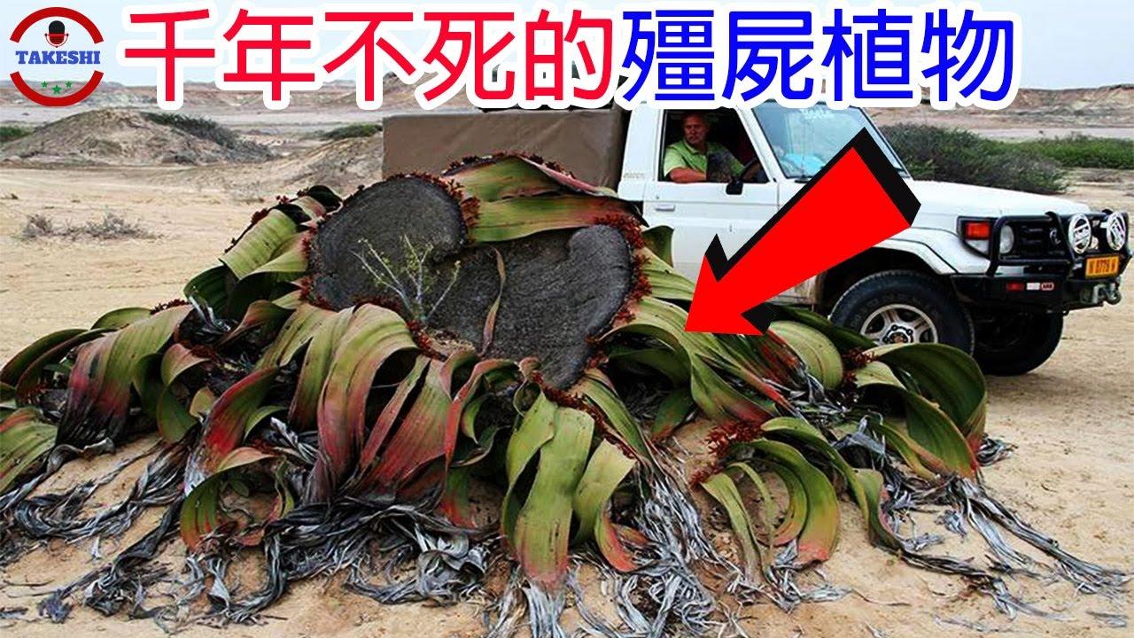 """[生物放大鏡]數個存在非洲植物界裡的""""怪物""""   匍匐地面的巨大千年老妖   動物難以下口的殺手植物"""
