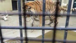 京都市動物園 2015/2/22撮影 アムールトラのルイくん(♂、4歳) マタタ...