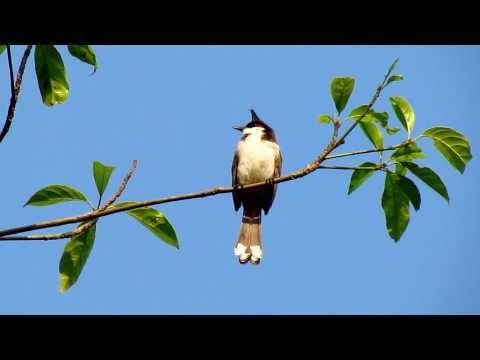 เสียงนกข้างบ้าน    Red-whiskered  Bulbul bird singing 1/2