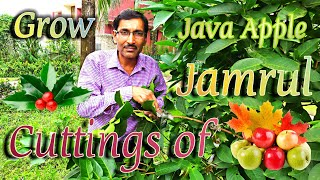 Easiest Method of Propagation of Jamrul or Java Apple at Home.