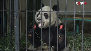 Virus Kills Another Panda in China