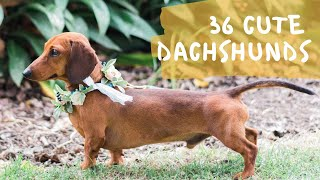 36 Cute and Funny Dachshund Videos Instagram | Adorable Sausage Dogs