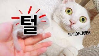 털갈이하는 고양이 셋, 얼마나 털이 빠질까? (6900명의 예상을 뒤엎는 결과!) thumbnail