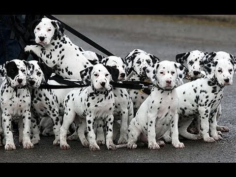 Dalmatian, Puppies, Dogs, For Sale, In Little Rock ...