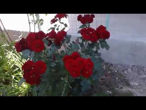 Питомник роз Полины Козловой, почвопокровные розы