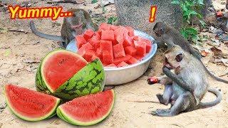 Amazing Monkey Videos - Wild Monkeys enjoy with fresh Water Melon