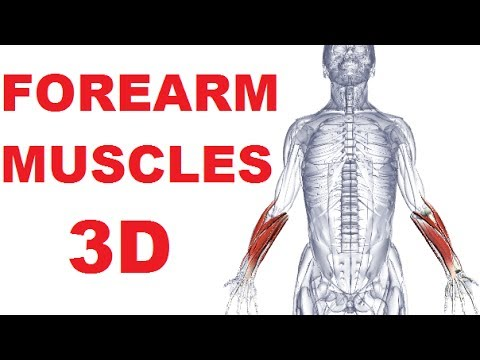 Forearm Muscles Anatomy - Posterior Compartment (Extensors) Part 1 ...
