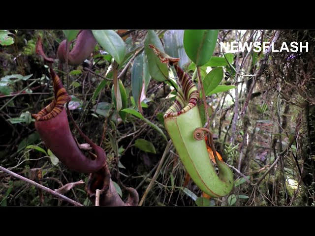 Frog Whose Tadpoles Grow Inside Carnivorous Plant