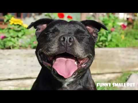 Funny Talking Dog (Staffy - Staffordshire Bull Terrier) Compilation 2017
