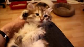 Как купить сибирского котёнка - видео 4
