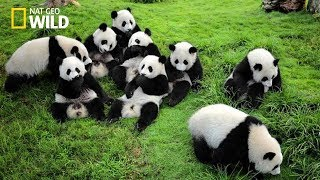 Life of Rare Panda – National Geographic And Wildlife Animal Documentary