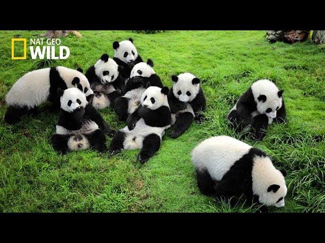 Life of Rare Panda