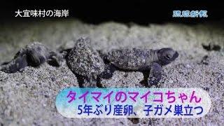 【大宜味】タイマイのマイコちゃんが帰ってきた―。沖縄本島での産卵が極...