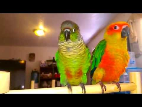 Sun conure and green cheek conure meet for first t
