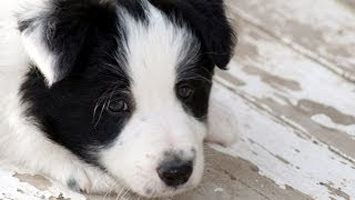 Border Collie, Puppies, For, Sale, In, Jackson, Mississippi, Ms, Clinton, Pearl, Horn Lake