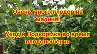 Уход за малиной во время плодоношения + Подкормка