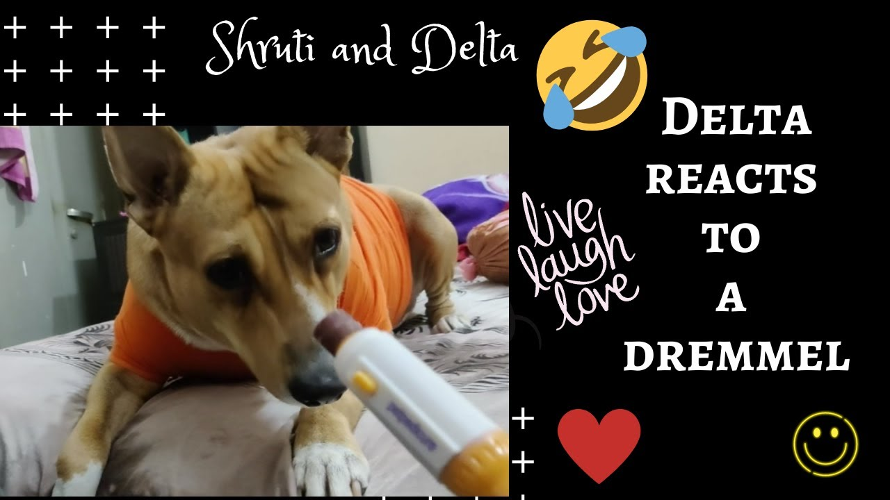 Delta reacts to a dremmel   Funny reaction video   Cute dog videoo