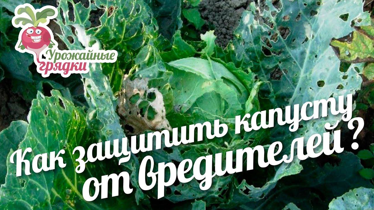 Как защитить капусту от вредителей народными средствами? #urozhainye_gryadki