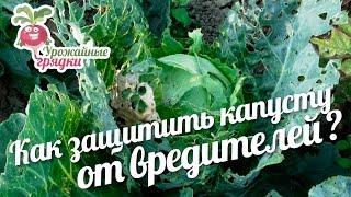 видео Чем обработать капусту от вредителей: химические и народные средства