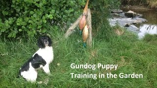Gundog Puppy Training In The Garden - English Springer Spaniel