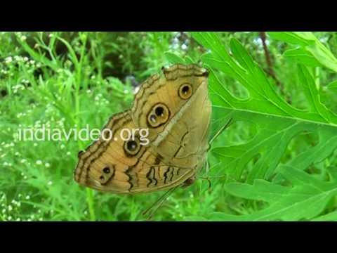 Peacock Pansy Butterfly, Uttarakhand