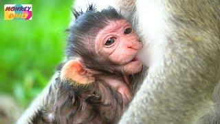 So nice of mom give sweet milk & hug newborn tightly   Alizza milk so beautiful   Monkey Daily 3377