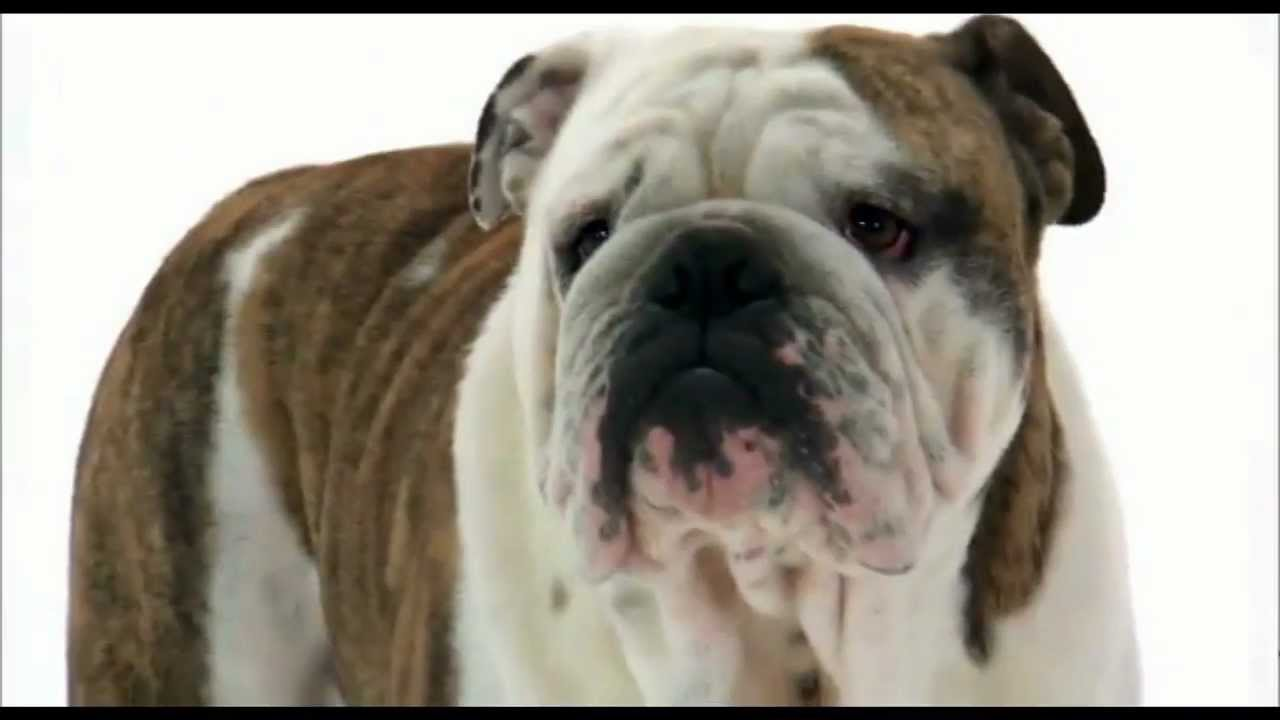 bulldog utube dogs 101 english bulldog youtube 9900