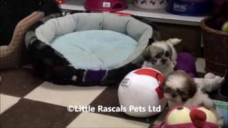 Little Rascals Uk Breeders New Litter Of Shih Tzu Puppies