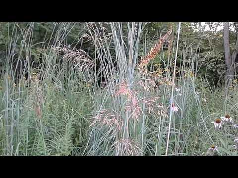 Big Bluestem grass shows you its pollen while wildflowers drowse in the sunshine