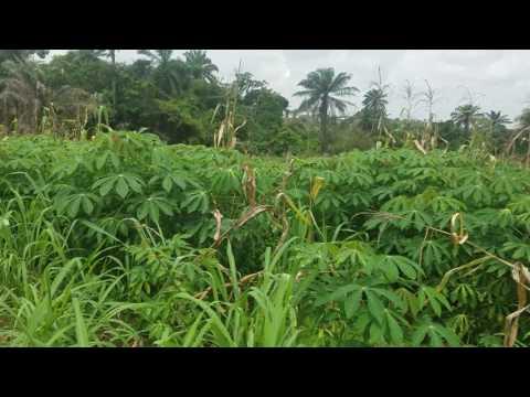 AgroDev Cassava Plantation with @Shegerealtor