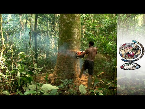 Cameroon's Rainforest Under Threat From Illegal Logging 2014