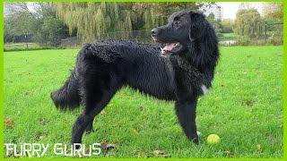 The Dog Park | Border Collie - Golden Retriever Mix And Husky - Belgian Shepherd Groenendael Mix