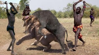 OMG! Buffalo Tortured Lion Catastrophically, Defeat Lion With powerful Stabs With Sharp Horns