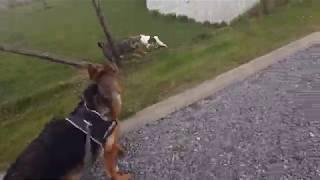 blue nose pitbull vs german shepherd