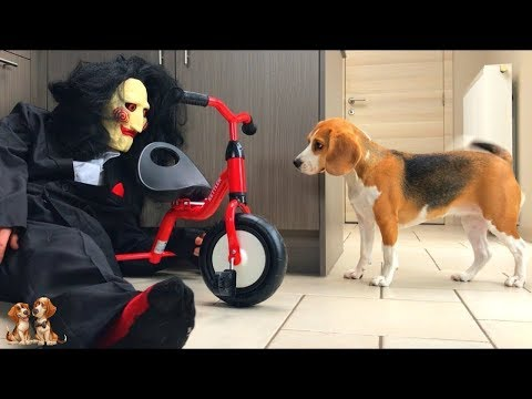 10 Reasons why YOU want a BEAGLE   Beagle Universe