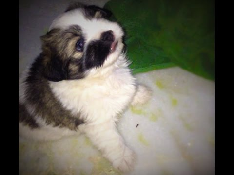 Lhasa Apso dainty little toy dog capering