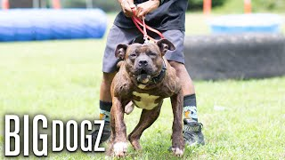 Luca Brasi - 'The Enforcer' Misfit K9 Bandog | BIG DOGZ
