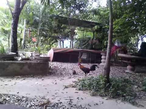 bay ga rung 2015, ga rung, ayam hutan