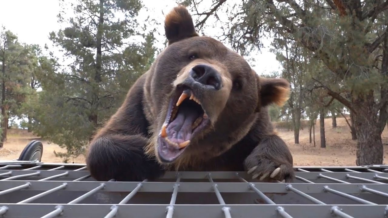 Grizzly Bear Tries To Eat Me Alive