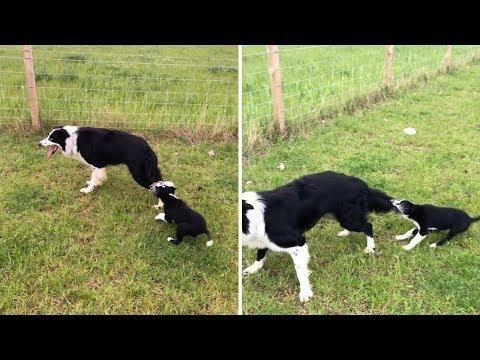 Непоседливый щенок пристает к пастушьей собаке