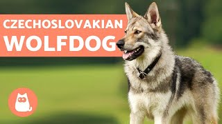 The Czechoslovakian Wolfdog - Everything You Need to Know
