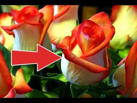 100% рабочий способ укоренить розу из букета! Как укоренить розу из букета весной?
